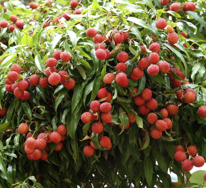 Favco Lychee Tree